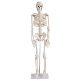 Squelette Humain Human...