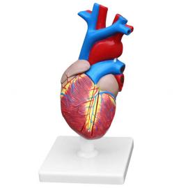 Modèle anatomique de coeur...